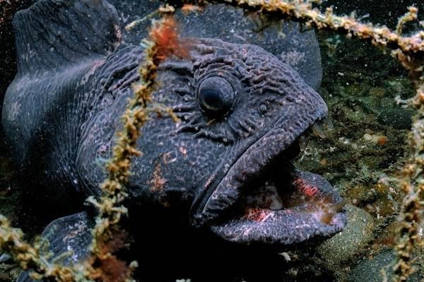 Рыба-дьявол-Описание-особенности-виды-и-среда-обитания-рыбы-дьявол-6