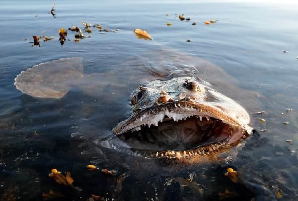 Рыба-дьявол-Описание-особенности-виды-и-среда-обитания-рыбы-дьявол-9
