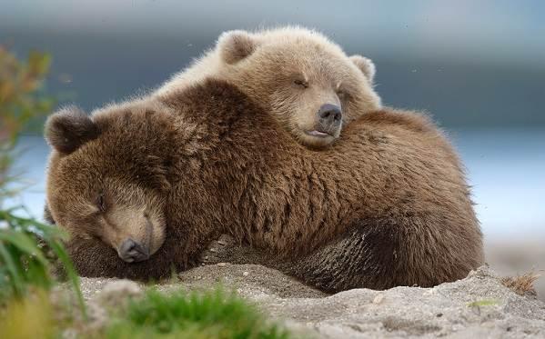 Виды-медведей-Описание-названия-и-особенности-медведей-1