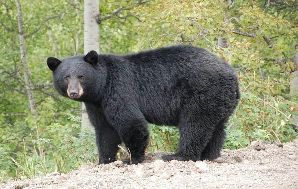 Виды-медведей-Описание-названия-и-особенности-медведей-11