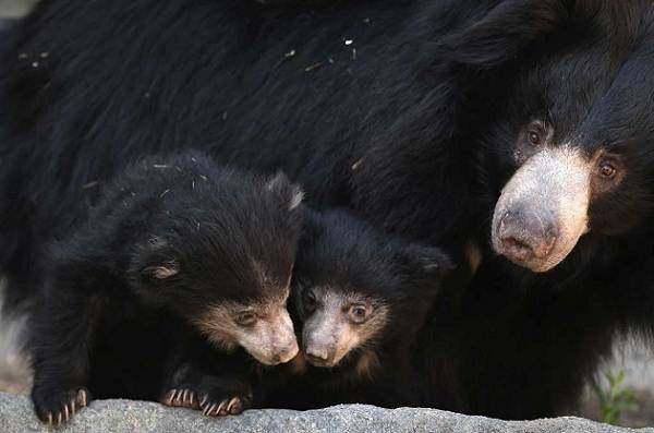 Виды-медведей-Описание-названия-и-особенности-медведей-19