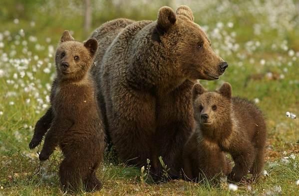 Виды-медведей-Описание-названия-и-особенности-медведей-2