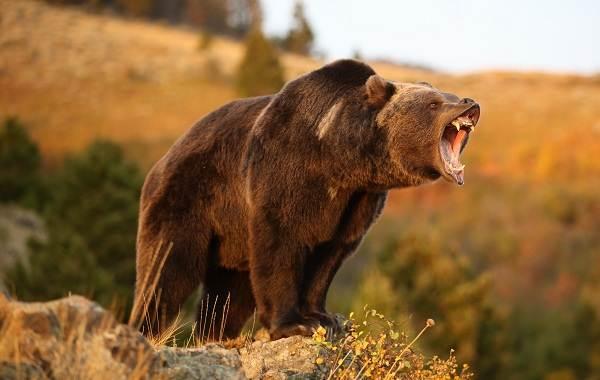 Виды-медведей-Описание-названия-и-особенности-медведей-24