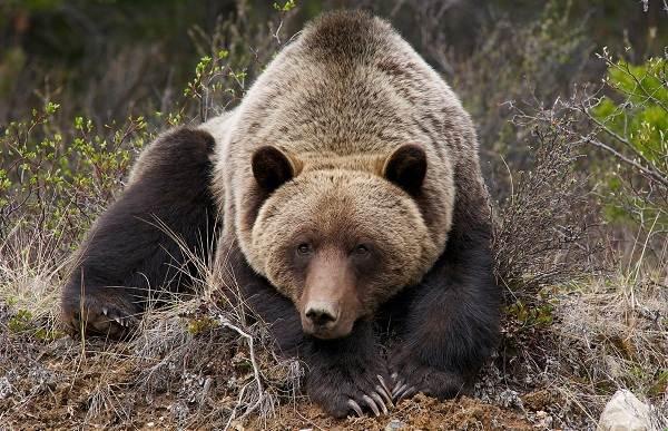 Виды-медведей-Описание-названия-и-особенности-медведей-25