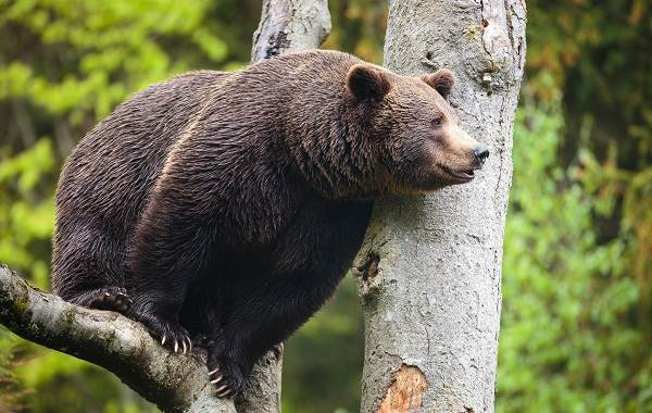 Виды-медведей-Описание-названия-и-особенности-медведей-3