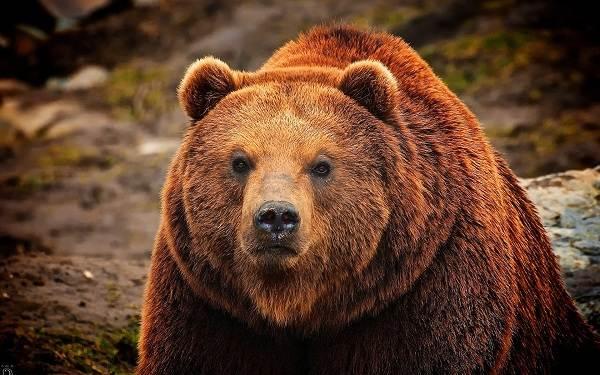 Виды-медведей-Описание-названия-и-особенности-медведей-32