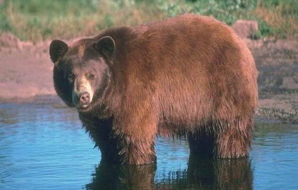 Виды-медведей-Описание-названия-и-особенности-медведей-35