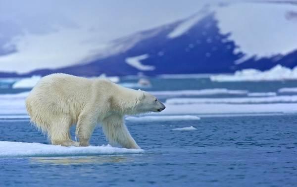 Виды-медведей-Описание-названия-и-особенности-медведей-6