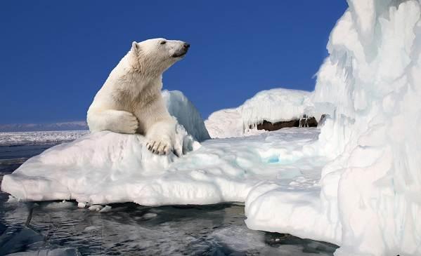 Виды-медведей-Описание-названия-и-особенности-медведей-7