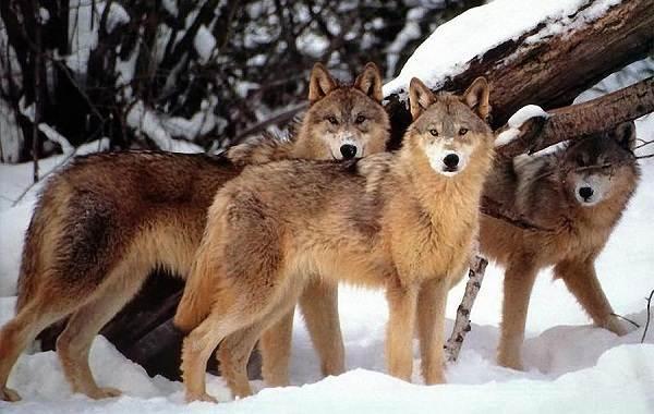 Виды-волков-Описание-названия-и-особенности-волков-1