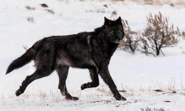 Виды-волков-Описание-названия-и-особенности-волков-12