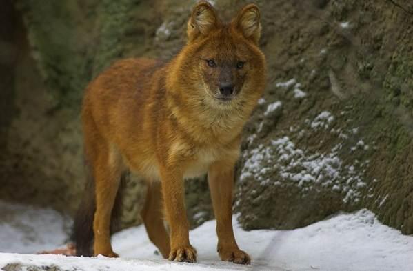 Виды-волков-Описание-названия-и-особенности-волков-13