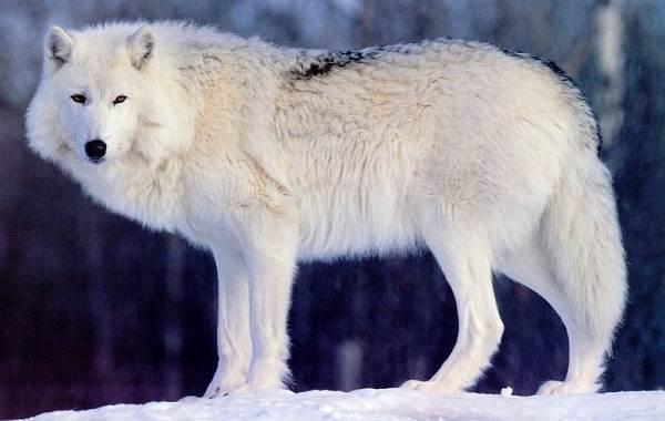 Виды-волков-Описание-названия-и-особенности-волков-15