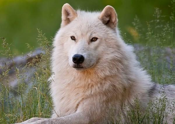 Виды-волков-Описание-названия-и-особенности-волков-16