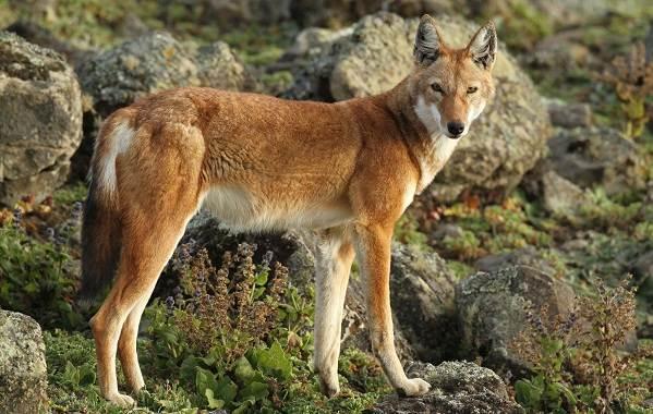 Виды-волков-Описание-названия-и-особенности-волков-19