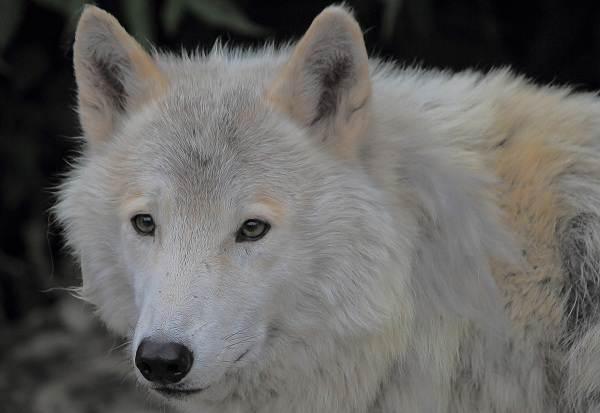 Виды-волков-Описание-названия-и-особенности-волков-21