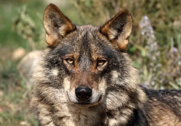 Виды-волков-Описание-названия-и-особенности-волков-23