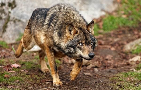 Виды-волков-Описание-названия-и-особенности-волков-25