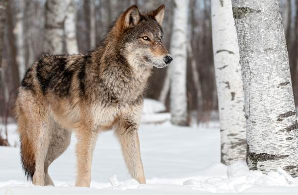 Виды-волков-Описание-названия-и-особенности-волков-26