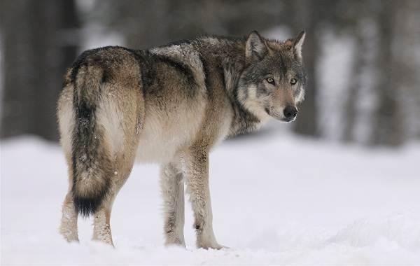 Виды-волков-Описание-названия-и-особенности-волков-27