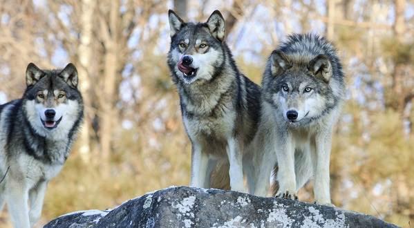 Виды-волков-Описание-названия-и-особенности-волков-28