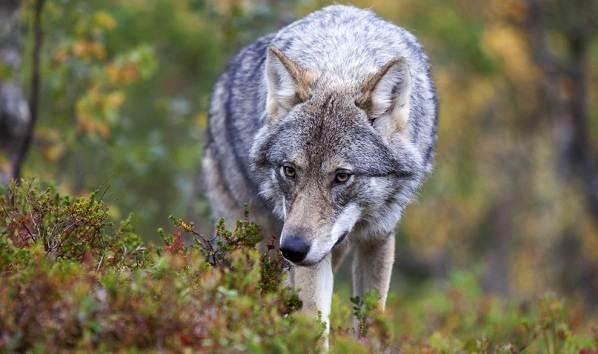 Виды-волков-Описание-названия-и-особенности-волков-30