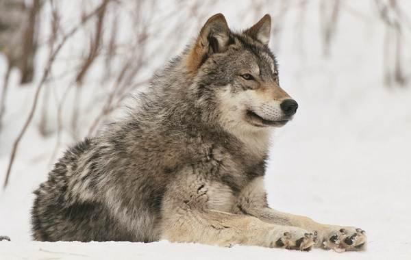 Виды-волков-Описание-названия-и-особенности-волков-31