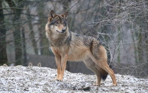 Виды-волков-Описание-названия-и-особенности-волков-32
