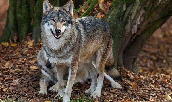 Виды-волков-Описание-названия-и-особенности-волков-33