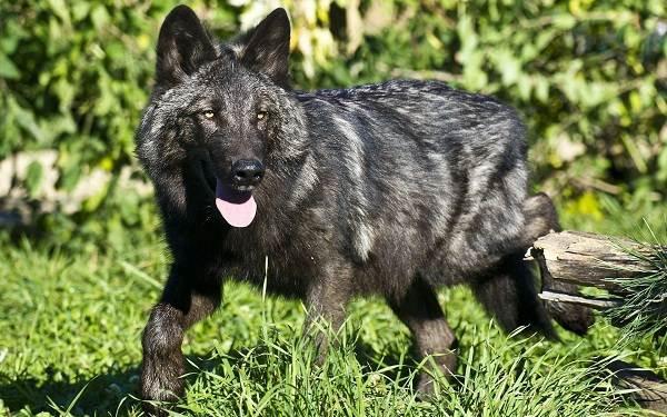 Виды-волков-Описание-названия-и-особенности-волков-36