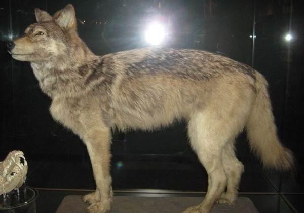 Виды-волков-Описание-названия-и-особенности-волков-5