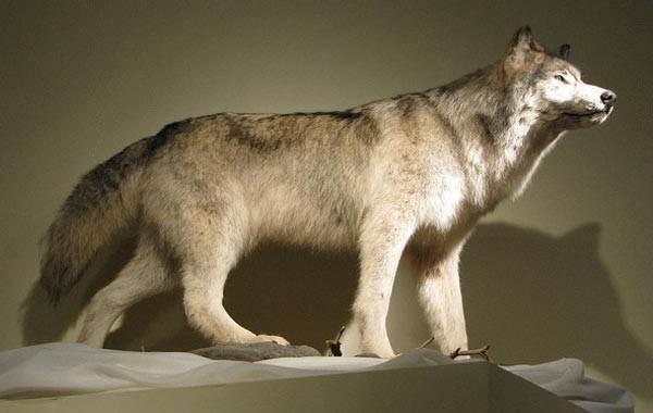 Виды-волков-Описание-названия-и-особенности-волков-8