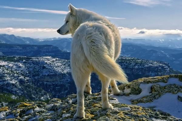 Виды-волков-Описание-названия-и-особенности-волков-9