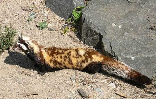 Животные-Алтайского-края-Описания-названия-и-особенности-животных-Алтая-15