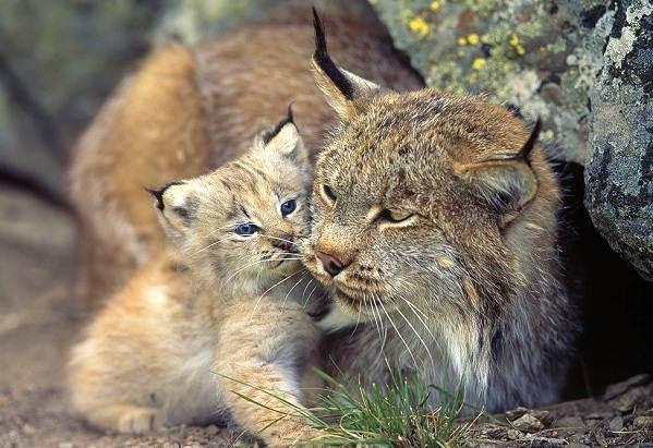 Животные-Алтайского-края-Описания-названия-и-особенности-животных-Алтая-35