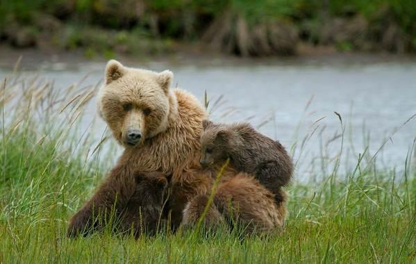 Животные-Алтайского-края-Описания-названия-и-особенности-животных-Алтая-46