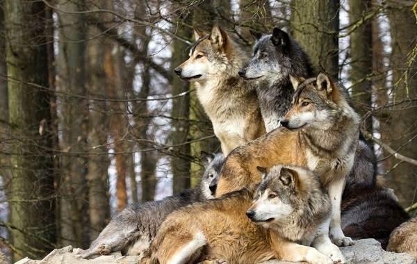 Животные-Алтайского-края-Описания-названия-и-особенности-животных-Алтая-49