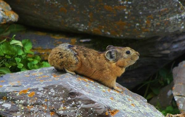 Животные-Алтайского-края-Описания-названия-и-особенности-животных-Алтая-5