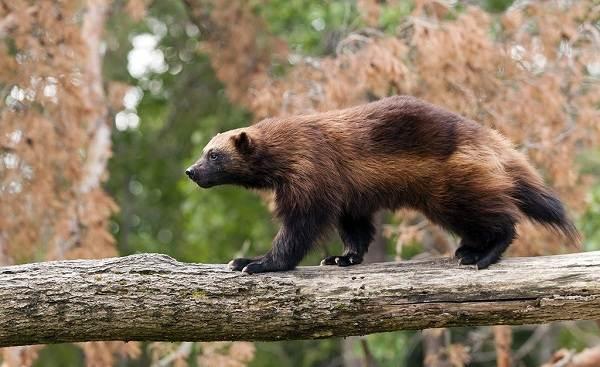 Животные-Алтайского-края-Описания-названия-и-особенности-животных-Алтая-52