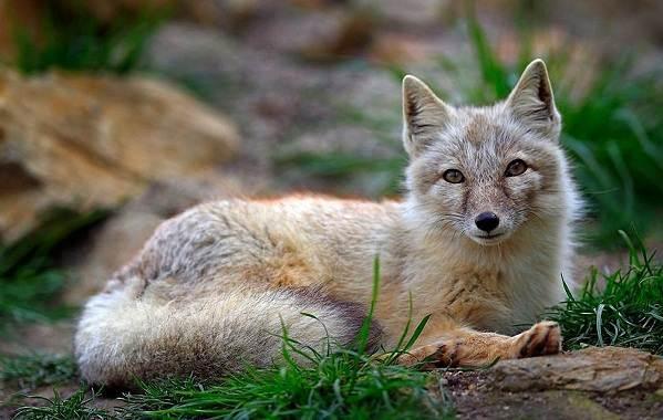 Животные-Алтайского-края-Описания-названия-и-особенности-животных-Алтая-54