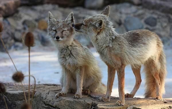 Животные-Алтайского-края-Описания-названия-и-особенности-животных-Алтая-55