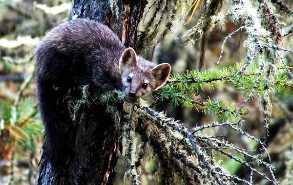 Животные-Алтайского-края-Описания-названия-и-особенности-животных-Алтая-56
