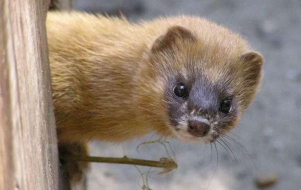 Животные-Алтайского-края-Описания-названия-и-особенности-животных-Алтая-59