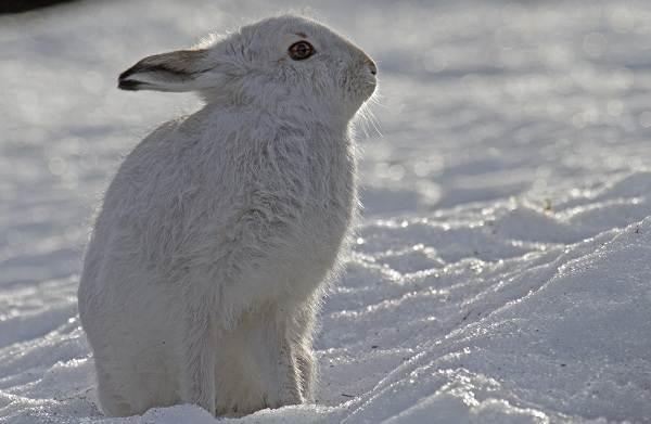 Животные-Алтайского-края-Описания-названия-и-особенности-животных-Алтая-66