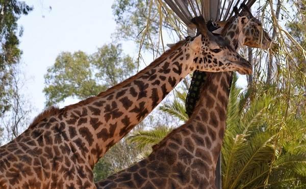 Животные-саванны-Описания-названия-и-особенности-животных-саванны-10