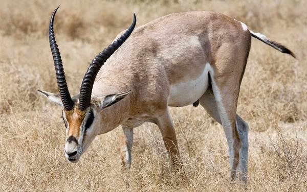 Животные-саванны-Описания-названия-и-особенности-животных-саванны-12