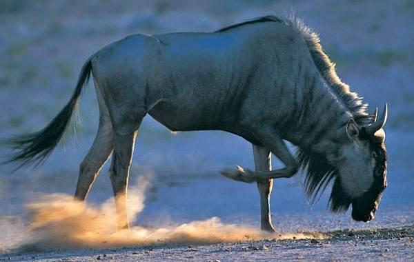 Животные-саванны-Описания-названия-и-особенности-животных-саванны-23