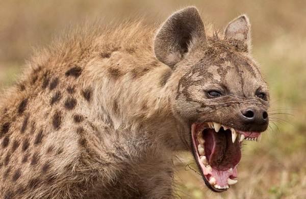 Животные-саванны-Описания-названия-и-особенности-животных-саванны-39