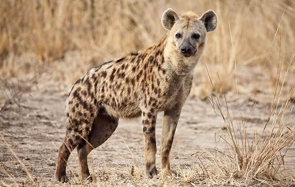 Животные-саванны-Описания-названия-и-особенности-животных-саванны-40