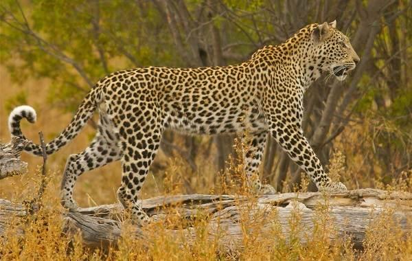 Животные-саванны-Описания-названия-и-особенности-животных-саванны-42